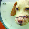 KENNETH.Doctors successfully reconstruct the face of Kenneth, the dog who was hacked by a still unidentified person last September. Kenneth's story made its way to the Internet, attracting the attention of dog lovers, which led to the reconstructive surgery.(Sun.Star Photo/Jinky Bargio)