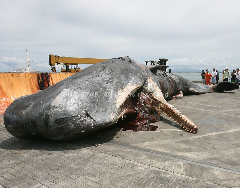 ZAMBOANGA. The pregnant Great Sperm Whale lies dead at the port of Zamboanga after a mechanical crane lifted it off from the water. (Bong Garcia)