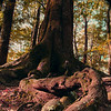 "Novice grade open........""Giant"" by Goldie Walker........Accepted<br /> <br /> Giant<br /> This is an interesting shot of this tree, I've seen something very similar at Lake Sylvan at the head of lake Whakatipu. The vignetting treatment here lets you down though as it's a bit harsh and the contrast between that and the vertical borders lets you down. The depth of field is good and the light has been handled quite well overall as shooting in trees with filtered light is difficult. Overall the colour seems a bit off though with a greenish tinge. Accepted."