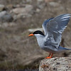 "B Grade Open.........."" Black Fronted Tern ""  by  Jacquie Scott........Acceptance<br /> <br /> Jacquie Scott:  B Grade<br /> 												 <br /> BLACKFRONTED TERN  -  terrific differential focus makes bird stand out against the background – excellent colour – bird on a strong third, looking into the picture – bird itself is sharp, as it should be.													          ACCEPTED"