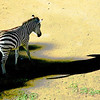 """ Lonely ""  By  Barbara Lee.<br /> <br /> The placement of the zebra within the frame portrays your title well and the shadow provides some interest and balance. I am not sure that the post-processing treatment does the image justice and it may be better as it was originally taken?"