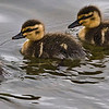 "B grade open subject........."" Water babies ""  by  Valerie Pohio........Acceptance.<br /> <br /> A nice simple image that has been well handled and the crop has helped draw you into the image. Possibly not quite sharp but I do like the water droplets on the ducklings backs."