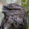 Open	Tawny Frogmouth	A	<br /> A nice portrait of the bird. I find the lighting a bit flat, I suggest you lighten the eye to give the bird a lift. The background of one side of your image is blurred while the RH side is relatively sharp this needs to be blurred out as well.	 ACC