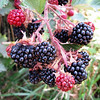 Wanaka Wild Berries:Tom McConnell<br /> These blackberries look good enough to eat, they are beautifully sharp and you have blurred the background which could have been very distractive if it had been left sharp. What do you think about cropping the right hand side and down to the top of the red berry on the top. This would get rid of the very light area in the top right hand side and concentrate more on the berries.. Still a great shot.  Honours