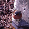 CHEEKY CHAFFINCH Rebecca Campbel N<br /> Cheeky indeed!  Good placement of the bird in the picture space.  Our eyes go straight to the birds head but it has no detail so we look for more to peg our interest - the nail?  Ligating was not easy and compromises have to be made under the circumstances.  Unfortunately there is no combination of exposure that will lift this image.  For example, if you had exposed for the head detail, the rest of the image would have blown out and that would not have worked.  You have made the best of what was available o you at the time - good choices don't always make a great image, unfortunately. l  Not Accepted