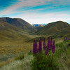 Bob Steel  LINDIS EARLY MORNING<br />  a lovely serene landscape – I wish you'd gotten down low so the lupins broke through the line of the hilltops – I suspect you stood up and took this, but that lower angle would have added so much extra drama and made for a more dynamic image.  ACCEPTED