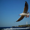 Swoop<br /> Lovely crisp shot of the gull in its environment but I don't really feel a sense of action in the shot. The horizon needs a little straighten and I'd suggest putting this one in the open section as I feel it is too static to do well in an 'action' competition.<br /> Not Accepted 033 Novice