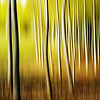 Birch Forest in Autumn  -  Thierry Huet<br /> This image has a real glow and warmth with rich tones and colours, and the more stylised treatment gives the birches a shimmering intensity.<br /> The three more prominent trees at the front of the image help to lead your eye across left to right to the more densely populated area.<br /> Naturally, strong verticals play an important compositional role, but as a subtle counterpoint to these, there is a pleasing horizontal stability with the gradation of colour tones from the lighter green at the top of the image to the darker browns at the bottom.<br /> My only slight concern is the lighter area in the top left corner – I find this a little distracting, but overall, I enjoy the image very much. Merit