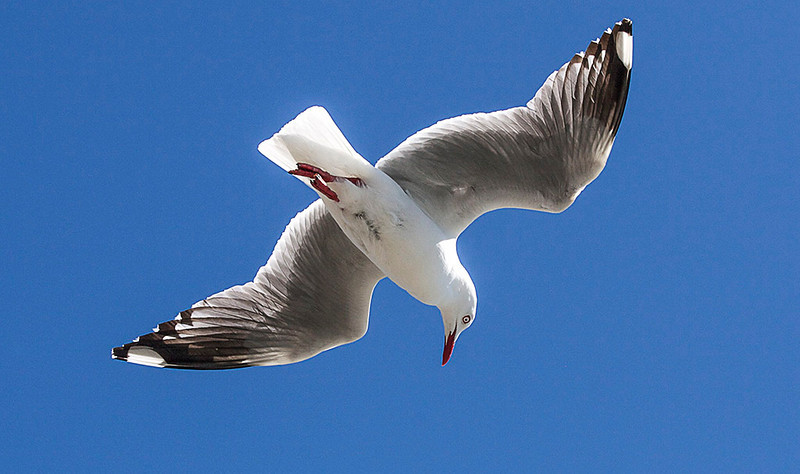 Gull Whitebaiting    -  Val Pohio<br /> While, backlighting provides some interesting detail on the underside of the gull's wings, I feel overall the shot is lacking in drama and energy.<br /> I don't have any sense of anticipation that the subject is about to engage in any activity and the image feels very static.<br /> If possible, try to catch your subject actively 'doing' something and engaging with its surroundings. Not Accepted