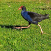 Pukeko  -  Esmae Pohatu<br /> The author has captured the pukeko mid stride, adding interest and allowing us to see its massive claw.<br /> However, the image is very grainy and not sharp, hampering efforts to glean any useful, close-up detail.<br /> I also feel that the subject is almost overpowered by all of the surrounding grass. Not Accepted