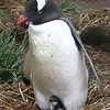 "Baby Sitting    -  Brian Dowling<br /> Unfortunately I can't accept this image in a natural history competition due to the instances where parts of the image have been artificially blurred (in particular the material at the top of the penguin's wing on the right).<br /> In a natural history competition ""no elements may be moved, cloned, added, deleted, rearranged or combined. Any manipulation or modification to the original image must be limited to minor retouching of blemishes and must not alter the content of the original scene"" – this quote is taken from the PSNZ rules regarding natural history images.<br /> I feel you have gone beyond the boundaries of what is acceptable, which is a shame as overall I think the shot has potential. Also, be careful of your title – you want to use the scientific or common name of the subject. Not Accepted"