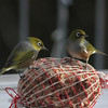 Set Subject Natural History	NZ Waxeyes    -  Mike Horder<br /> Unfortunately I cannot accept this image in a natural history competition. The photo has been taken under domestic conditions with the bird tray and feeder, rather than in a natural setting.The inclusion of the 'human element' is just too great in this instance.<br /> Setting that aside, the author has done well to freeze the action, these birds are very quick, and the narrow depth of field and darker background help to focus our attention on the subjects. Not Accepted