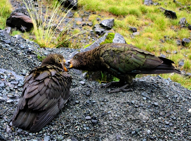 Nestor Notobilis  -  Karin Miller<br /> It's good that the author has captured the kea interacting with each other rather than sitting statically.<br /> Aspects of their environment have been incorporated within the shot and the viewer can see how the colouring of the birds' plumage allows them to blend in with their environment very well.<br /> Compositionally there is rather a lot of empty space in the shingle at the bottom right of the image – perhaps a few steps to the right and crouching down lower so you are taking the picture at the level of the birds rather than from above, might help to avoid this.<br /> It may also give the viewer a greater understanding of the subject as you are at its level and presenting things from its viewpoint. Accepted