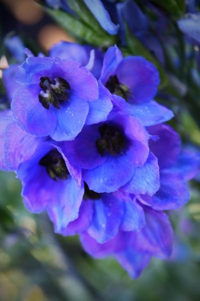 Delphinium Amy Ballantyne<br /> The composition and the colour are great, but the image lacks enough depth of field. Again, watch the vertical pixel dimension.<br /> Not Accepted