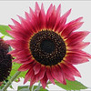 Sunflower Jacquie Scott<br /> A striking image in which the bulls-eye composition holds the viewers interest. The red petals add immediate visual impact.<br /> Merit