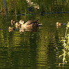 Set Subject (Seasons)<br /> <br /> Duck Family  - Rod Macleod<br /> Certainly a springtime sight. I find the fresh green leaves on the willow tree dominate this image when it is really about the ducks. Perhaps if you had zoomed in on the ducks they would have stood out more, as it is they are rather lost in the colour of the water. Watch for high lights in images which draw your eye away from the focal point like the bright ripple on top centre border. B Grade Accepted