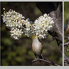 Yum Sweet Nectar Merit  - Jacquie Scott<br /> A really nice triptych depicting spring very well. I would have liked to see the  bird a bit bigger as it is the main focus in the images rather than the blossom which tend to dominate. This could have been easily achieved by cropping in closer to the bird. I like the shallow depth of field you have used so that the background doesn't intrude. I love the bird on tippy-toes. A Grade Merit