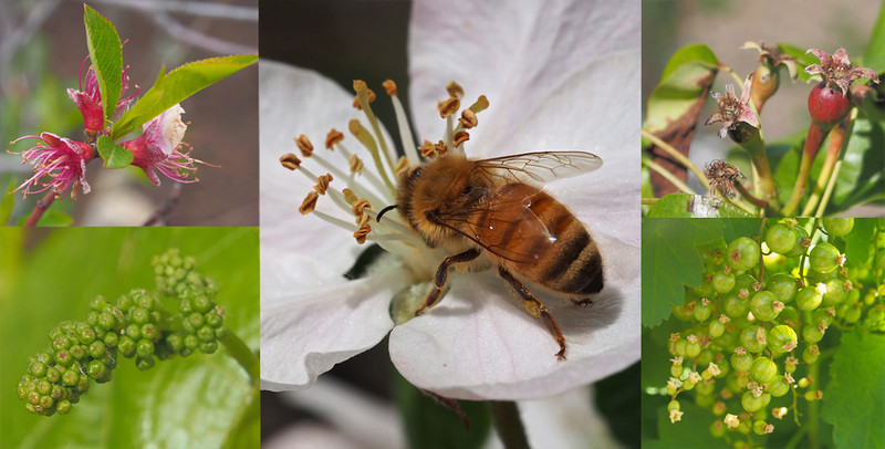 Seasons to bee or not to bee - Heather Macleod<br /> An interesting montage of springtime images .I guess all these fruits have been dependant on the bee for pollination so you have told a story as well. I find the image with the bee and perhaps the nectarine by far the strongest while the others are just really grab shots . I think, if you are creating something like this, every image should be able to stand on its own and be judged independently I don't think the other three are up to this standard.. You have arranged the images very carefully taking care with the colour balance producing a pleasing montage. B Grade Accepted