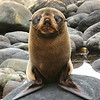 Fur Seal Nick Wallis N<br /> An adorable portrait of the Fur Seal, the direct in your face pose is very engaging and it's almost like he or she is daring you not to like it and have an 'awww' moment! The only wee niggle is the white reflection in the water, but you can't very well direct a wild animal where to sit. The lighting is great and the textures and colours of the fur are rendered perfectly.<br /> Honours