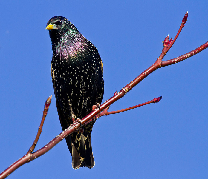 Starling Bob Steel B grade<br /> The light on the bird has brought out the plumage beautifully and the simplicity of the image allows the bird to stand out from its surroundings and become the focal point.<br /> Honours