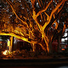 Fig Tree on Main Street<br /> The lighting brings out the shapes of the branches and casts a warm glow while the tight composition allows the tree to dominate the image. The image is somewhat busy which I find detracts visually and takes away the impact of the aforementioned points.   Not Accepted