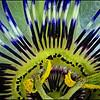 Passion Flower - Jacqui Scott