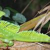 Emerald Basilisk Costa Rica  - Heather Macleod