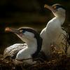 Karuhiruhi, Pied Shag Nesting - Allen Hogan