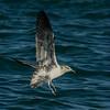 Juvenile Albatross - Allen Hogan