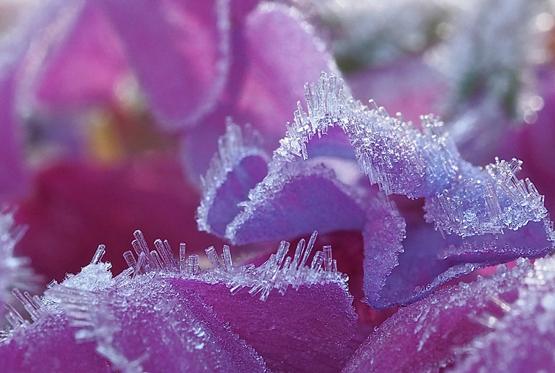Frost Crystals On Pink Flowers