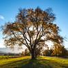 Memorial Oak - Nick Wallis