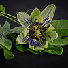 Flower of Passionfruit - Jacquie Scott