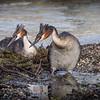 Nesting Grebes -