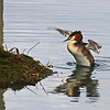 Crested Grebe returning to nest