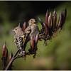 Goldfinches – Jacqui Scott