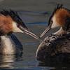 Australasian crested grebe chicks – Jacqui Scott