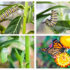 Larva, pupa and adult stages of life cycle of Danaus plexippus – Bevin Young
