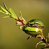 Luminescent green beetles