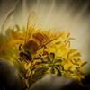 Apis Millifera Collecting Pollen – by Allen Hogan