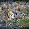 OPEN - A GRADE  001 – LEOPARD IN NAMIBIA Jacqui Scott