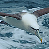 WHITE CAPPED ALBATROSS by John Wattie