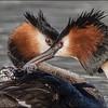 Grebe feather feeding      [Honours]     Jacqui Scott