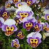 Pansy People by Marg Balogh