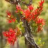 OPA 067 Native Mistletoe. Rod Macleod