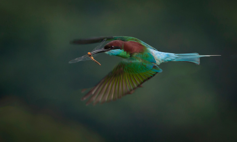 Blue Throated Bee Eater by John Grey