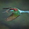 095  blue_throated bee-eater
