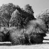 092 Ozzie Grass trees