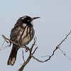 New Holland Honey eater by Geoff Perry
