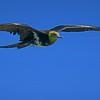Frigate Bird by John Wattie
