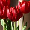 Tulips - Joanne Deaker